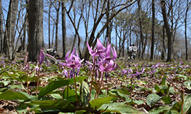 Dogtooth Violet Woods