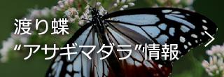 """渡りチョウ""""アサギマダラ""""情報"""